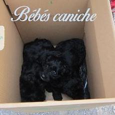 bebes-caniche-site.jpg