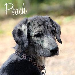 PC Peach.jpg