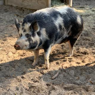 Ossabaw Hogs