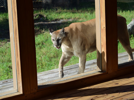 Oatland Island Wildlife Center mourns passing of cougar 'Shanti'