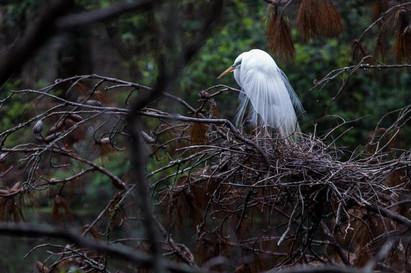 Ledbetter Pond, Oatland Island Wildlife Center, White Egret Nest