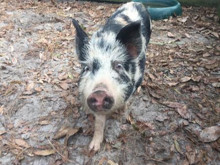Oatland Island Wildlife Center Welcomes Ossabaw Piglets