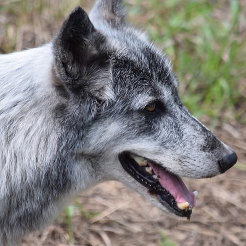 Wolf Yoga - August 21st