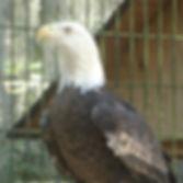 Bald Eagle Savannah GA Oatland Island Wildlife Center