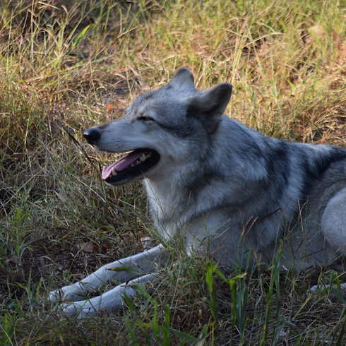 Wolf Yoga - October 23rd