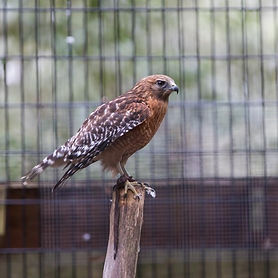 Red Shouldered Hawk, Savannah GA