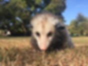 Oatland Island Opossum