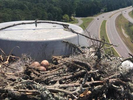 Savannah Osprey Eggs Returned to Nest