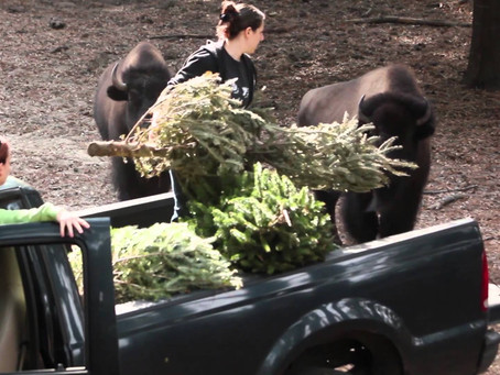 Tree Recycling and Animal Enrichment Opportunity