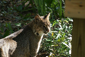 Oatland Island Wildlife Center Bobcat