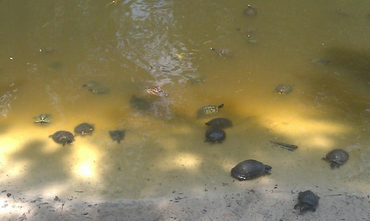 Ledbetter Pond, Oatland Island Wildlife Center, Turtles