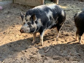 Ossabaw Pigs at Oatland Wildlife Center