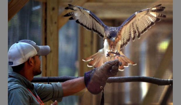 Training a red-tailed hawk to fly on command