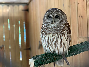 Oatland Island Wildlife Center Barred Owl