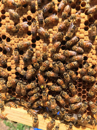Oatland Island honey bees, Coastal Empire Beekeepers Association