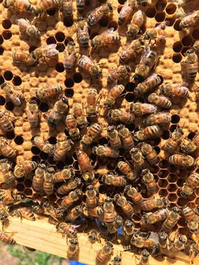 Oatland Island honey bees, Coastal Empire Beekeepers Association