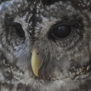 Wahoohoo, Barred Owl