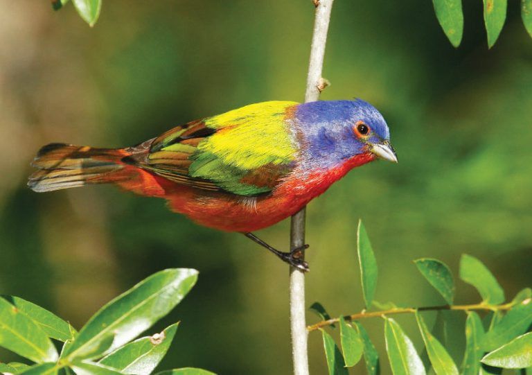 Painted Bunting at Harris Neck