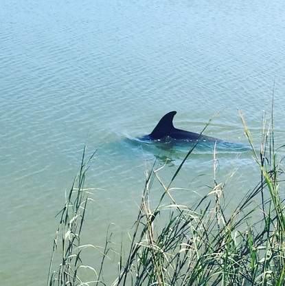 Dolphin, Wilmington River, Oatland Island Wildlife Center