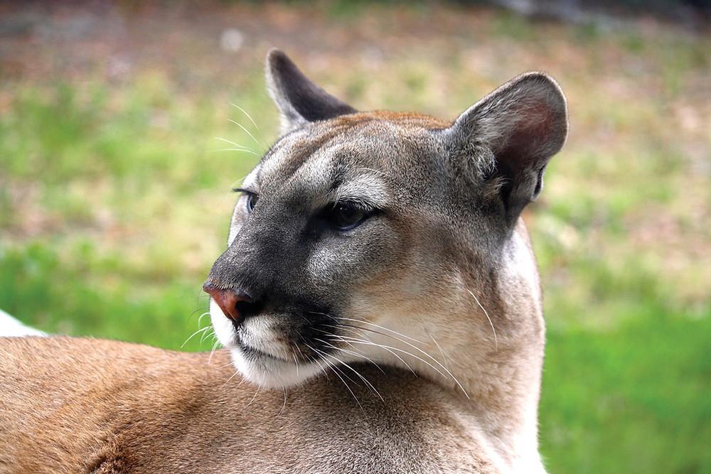 Oatland Island Savannah, GA Cougar