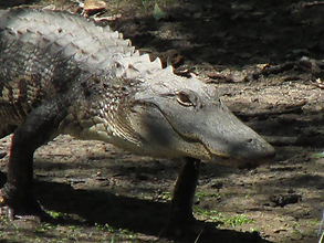 Oatland Island Alligator Savannah
