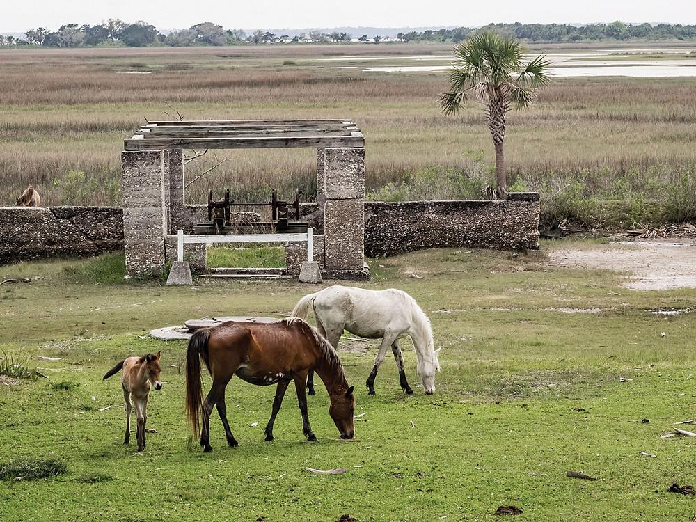 Cumberland Island Wild Horses
