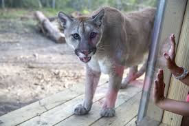 Shanti the Cougar, Oatland Island Wildlife Center, Photo Credit: Connect Savannah