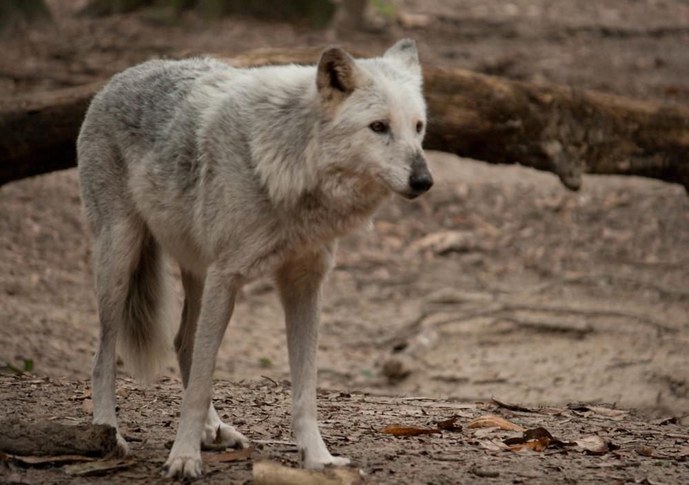 Willow Beloved Wolf at Oatland Island Wildlife Center