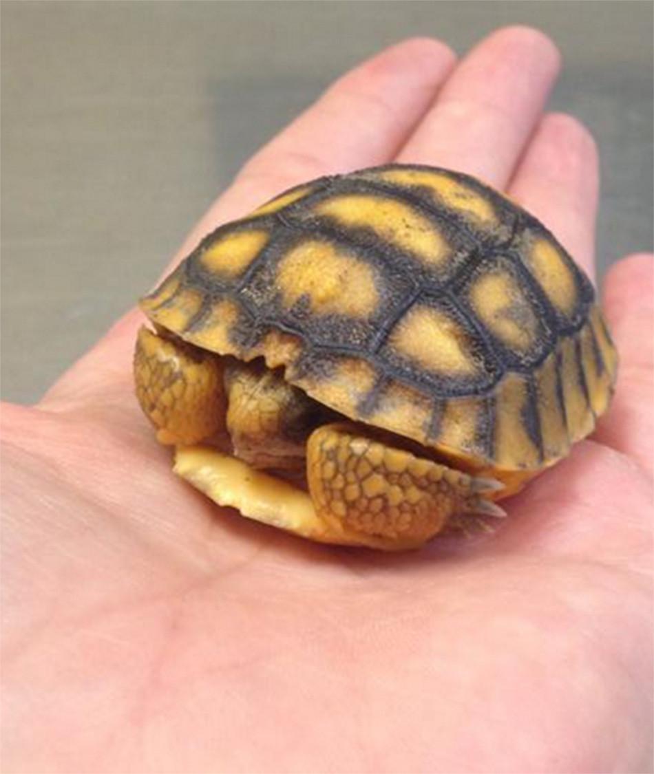 Gopher Tortoise Hatchling