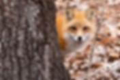 Red Fox Oatland Island, Savannah GA
