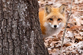 Red Fox Oatland Island, Savannah GA