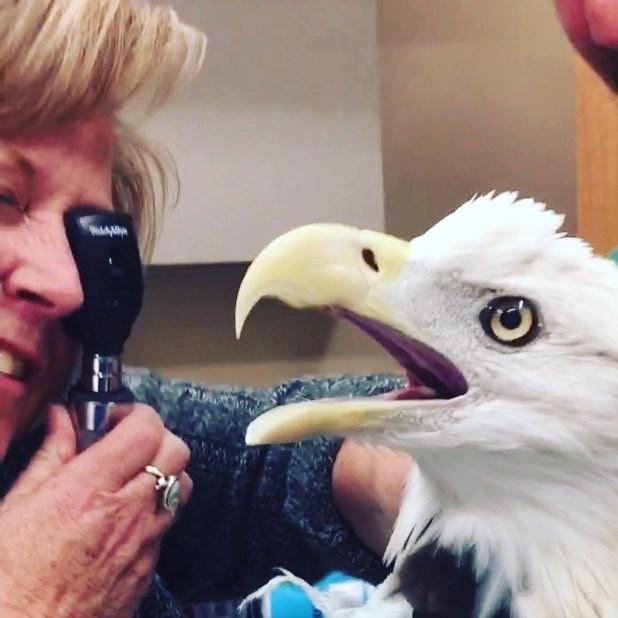 Bald Eagle Wellness Check up