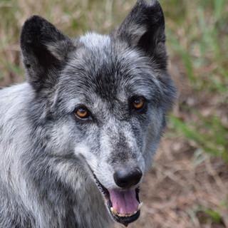 Satilla, Grey Wolf