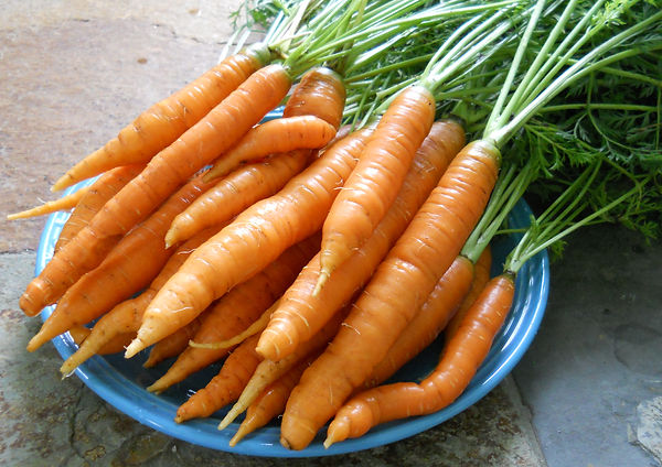 fresh organic Carrots from Bottle Hollow Farm