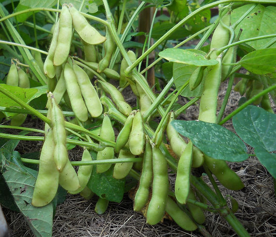 Organic heirloom edamame growing at Bottle Hollow Farm
