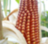 organic Floriani Red Flint corn growing at Bottle Hollow Farm