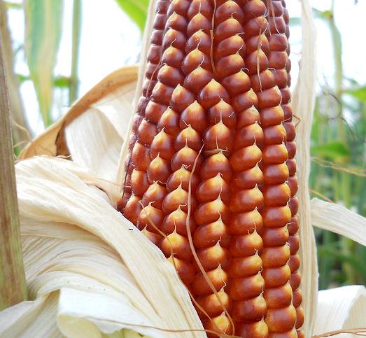 organic Floriani Red Flint corn growing at Bottle Hollow Farm