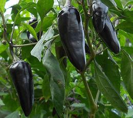 Purple Jalapeno pepper | Bottle Hollow Farm