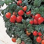 Patio tomato.jpg