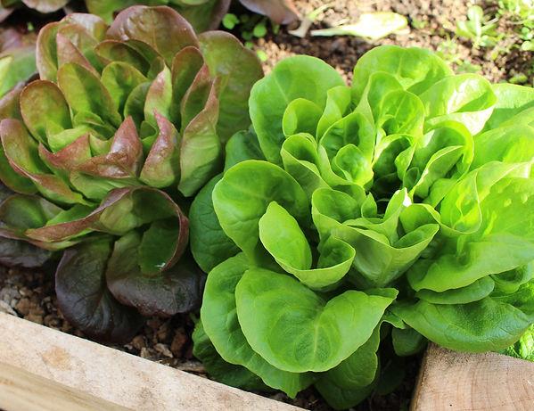 Lettuce_Butterhead 1200w.jpg
