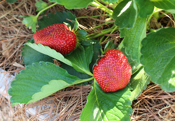 Strawberries from Bottle Hollow Farm. Naturally grown and Certified Organic.