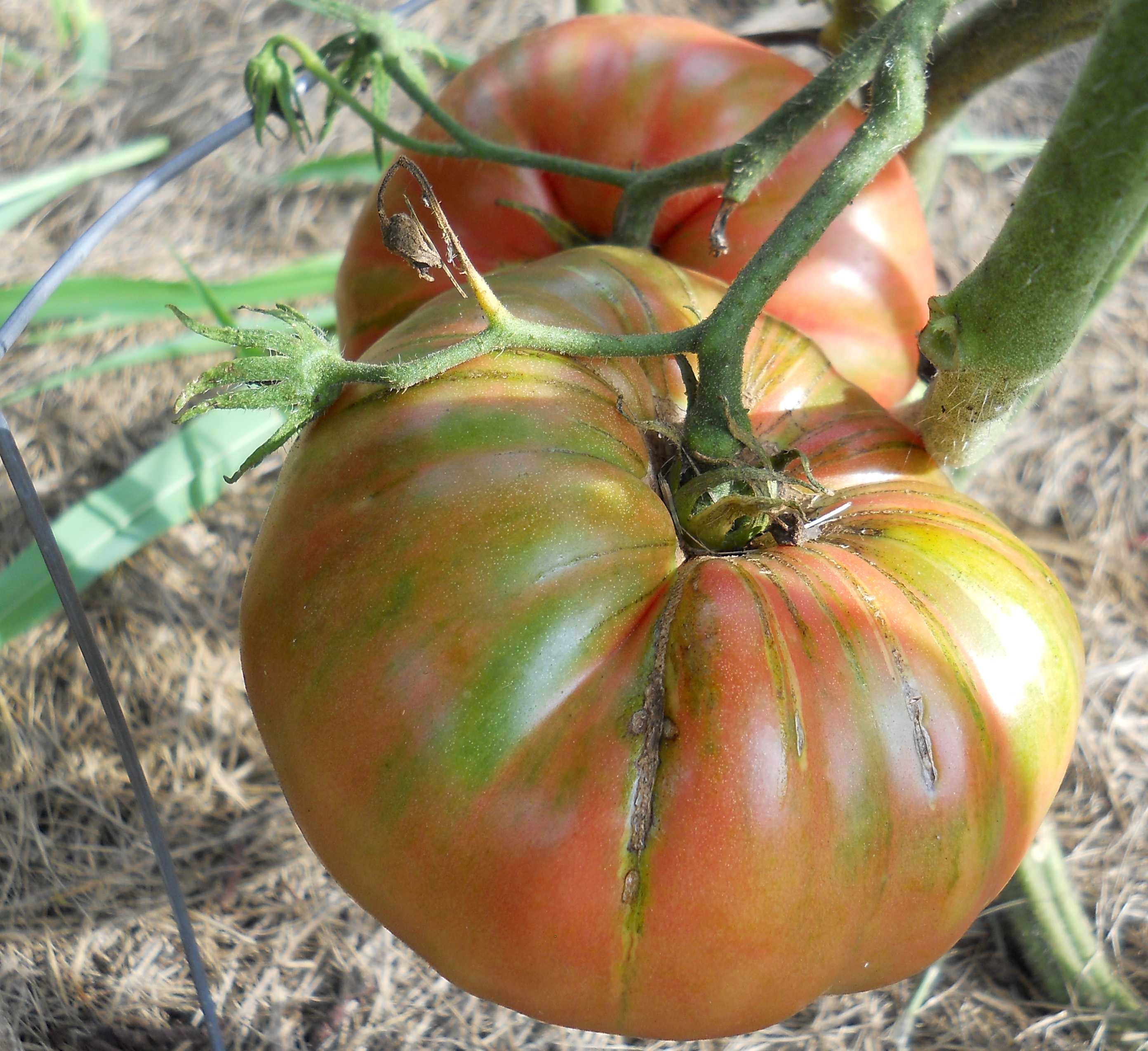 Tomato_Prudens Purple