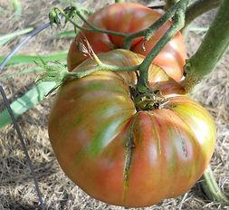 Prudens Purple heirloom Brandywine style tomato