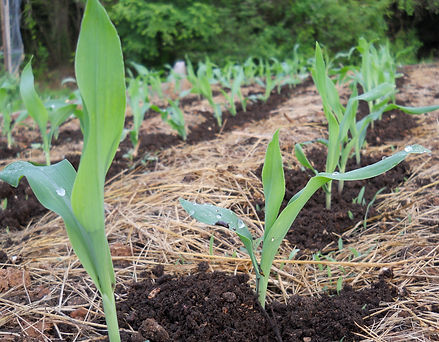 Floriani Red Flint corn seedlings off to a fine start