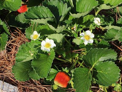 Certified Organic strawberries at Bottle Hollow Farm. Shelbyville, TN