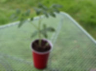 Tomato and Pepper Transplants | Bottle Hollow Farm