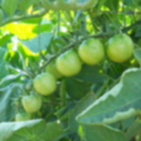 A cluster of Sun Gold tomatoes comin' on at Bottle Hollow Farm.