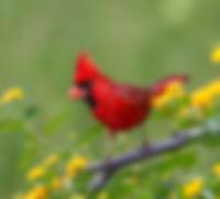 cardinal_michelle-summers.jpg