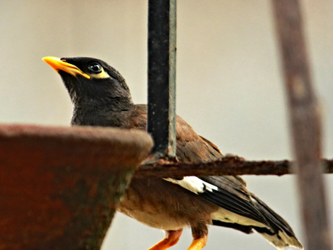 Myna- The Guardians