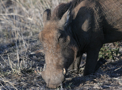 Why warthogs are useful in figuring out how bovine TB spreads